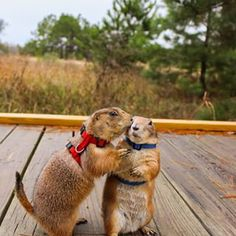 "This is Swarley and Bing, leaders of the infamous Prairie Dog Pack (""PDP""). 