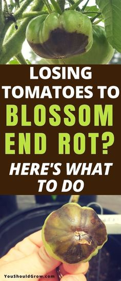 Growing tomatoes: How to deal with blossom end rot. Gardening should be fun! Don\'t stress over losing homegrown tomatoes anymore. Find out what treatments work and what doesn\'t. Gardening For Beginners | Organic Gardening | Backyard Vegetable Gardens #gardeningtips via You Should Grow · Gardening Tips & Ideas · Homesteading For Beginners · Simple Living #organicgardening #tomatosgardening - Aquaponics 4 U