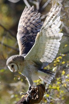 Barn Owl Information and Pictures-Information, Barn, Owl, pictures Beautiful Owl, Animals Beautiful, Cute Animals, Owl Bird, Pet Birds, Owl Information, Lechuza Tattoo, Photo Animaliere, Owl Pictures