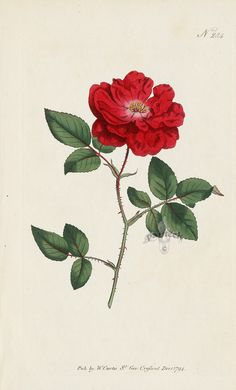 Ever Blowing Rose from William Curtis Flowers, Hydrangea, Hibiscus, Hyacinth, Red Lily, Chrysanthemum, Tulip