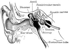 Anatomy for the Artist the Ear - - Yahoo Image Search Results