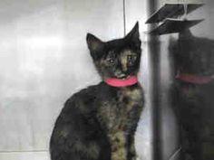 SANSA is an adoptable Domestic Short Hair Cat in Camarillo, CA. Sansa is up for adoption at Oxnard PetSmart 2021 N Oxnard Blvd Oxnard, CA 93036 (805) 981-4012...