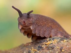 Scientists named this velvet worm based on it's resemblance to the Catbus - Eoperipatus Totoro via George Bletsis @geeblets