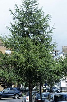 Family Pinaceae; Genus Larix; Species decidua; European Larch
