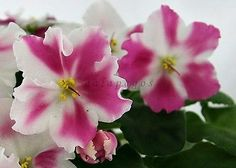 African-Violet-Saintpaulia-leaves-Russian-and-others-varieties-to-choose