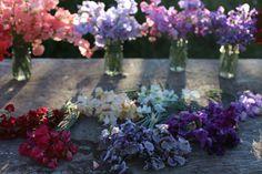 Sweet pea colour palette flowers