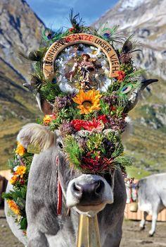 Zwischen Mitte September und Mitte Oktober, je nach Region, holen die Bauern ihr Vieh von den Almen. Wenn alles gut gegangen ist und alle Tiere den Sommer unbeschadet überstanden haben, werden die Kühe prächtig geschmückt – wie hier im Pfelderer Tal in Südtirol.