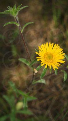 Photo by Viorica Bivol - Yellow little flower