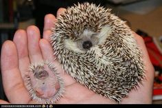 Awww how sweet. Hedgies are so cute! I would have another one in a heart beat! LOVE :)