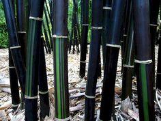 black bamboo.