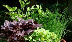 Ostindisches Zitronengras, Cymbopogon flexuosus/ east indien lemongrass - 1.5 € for seeds in Saatgut-vielfalt.