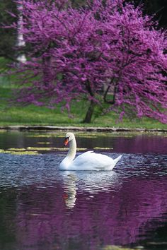 """The Swan,"""" with Yo-Yo Ma. """"Le Cygne illustrates the fleeting nature of beauty, with its interpretation of the legend of the """"swan song."""" This piece soothes and calms me. Beautiful Swan, Beautiful Birds, Beautiful World, Animals Beautiful, Beautiful Places, Spring Grove Cemetery, Pretty Birds, Amazing Nature, Belle Photo"""