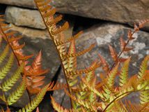 Great Design Plant: Autumn Fern Adds Color All Year