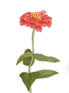 Single Zinnia Original Watercolor Painting by wandazuchowskischick, $20.00
