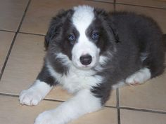 Free Border Collie Puppies | Deacon, blue/white boy age 7 months