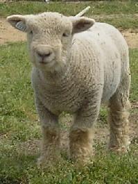 babydoll sheep. cutest backyard farm animals ever.