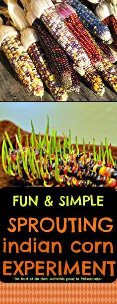Everything and nothing: Activities for Preschool: Science experiment: Sprouting indian corn for Halloween or Thanksgiving - Sprouting decorative corn cobs Science Experiments Kids, Science Fair, Science For Kids, Science Activities, Science Projects, Science Centers, Engineering Projects, Stem Projects, Fair Projects