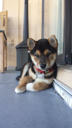 Cute Baby Dogs, Cute Dogs And Puppies, Baby Puppies, Cute Puppy Wallpaper, Cute Fantasy Creatures, Large Dog Breeds, Puppy Pictures, Cute Funny Animals, Shiba Inu