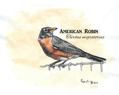 Original artwork created by Erin Crumpler for Friends of Coppell Nature Park (c) American Robin, Original Artwork, Birds, Park, Friends, Nature, Animals, Animales, Amigos