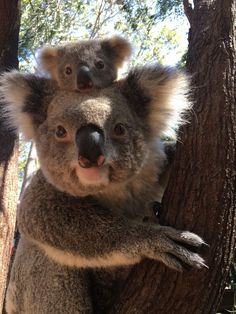 Tarni the Koala and his mum – Cory - Baby Animals Funny Koala, Cute Funny Animals, Cute Baby Animals, Animals And Pets, Koala Meme, Fluffy Animals, Koala Baby, Baby Otters, Australian Animals