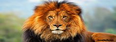The lion is the most powerful, frightful and magnificent animal and lion also known as king of jungle (forest). The scientific name of lion . Tier Wallpaper, Images Wallpaper, Animal Wallpaper, Lion Images, Lion Pictures, Animal Pictures, Face Images, Pictures Images, Chat Kawaii