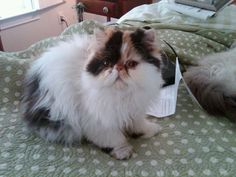 My Emmie. From Batcho Cattery. XO