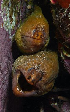 Grumpy moray eels - Brush Island | Flickr - Photo Sharing!