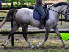 Anglo Arabian Mare with great bloodlines, Anglo-Arabian, Mare, 5 years old
