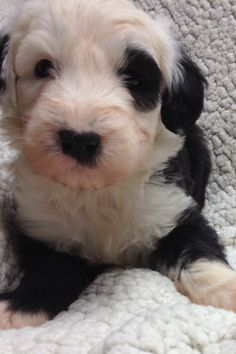 Old english sheepdog puppies from Feathers And Fleece Farm