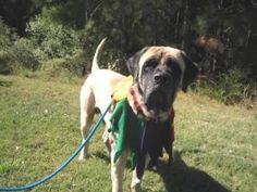 Forrest is an adoptable Mastiff Dog in Virginia Beach, VA. Forrest is a 2 years old Mastiff Dog. Forrest was brought to our shelter because his owner could no longer care for him. He is in need of som...