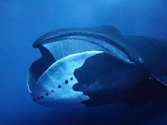 In the first sighting in almost 50 years a bowhead whale, the thick-bodied species that live in Arctic waters, was spotted in Nemuro Strait off the Hokkaido town of Rausu in Japan. The last sightin… Underwater Creatures, Ocean Creatures, Underwater World, Beautiful Sea Creatures, Animals Beautiful, Baleen Whales, Water Animals, Tier Fotos, Sea And Ocean