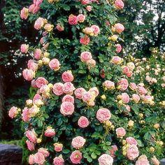 Rubrics, Fruit, Garden, Plants, Roses, Stone, Garten, Pink, Lawn And Garden