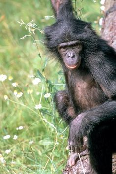 onobo Genome Completed: The Final Great Ape to Be Sequenced  June 13, 2012 — In a project led by the Max Planck Institute for Evolutionary Anthropology in Leipzig, an international team of scientists has completed the sequencing and analysis of the genome of the last great ape, the bonobo.