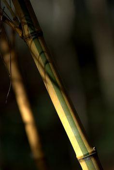 Phyllostachys viridis 'Robert Young' Bamboo Species, Bamboo Palm, Robert Young, Palms, Biology, Breathe, Beautiful Pictures, Photographs, Woodworking