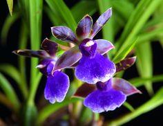 Zygopetalum Orchids Blue Bird | Zygopetalum Blue Eyes 'Ben Her' AM/AOS