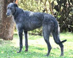sottish deerhound phot | weirskints scottish deerhounds photo album previous photo album home