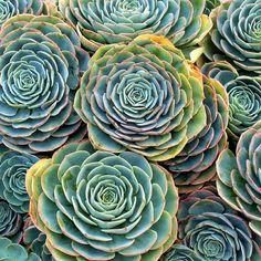 Echeveria imbricata - Blue Rose Echeveria - Mountain Crest Gardens