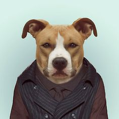 AMERICAN STAFFORDSHIRE by Yago Partal  for ZOO PORTRAITS