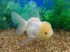lemon head white oranda goldfish