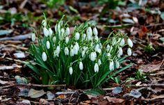 """Das mit dem Schnee ...  hat sich ja für dieses Jahr erledigt. Trotzdem sehen diese """"Glöckchen"""" doch irgendwie noch nach Winter aus. Die gleichzeitig blühenden Krokusse und Primeln eher nicht mehr.  :-) http://de.wikipedia.org/wiki/Schneegl%C3%B6ckchen"""