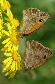 Two Butterflies by Peter Kerkhoff