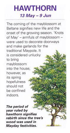 Celtic sacred trees Hawthorn