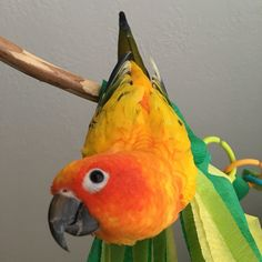 Luna Tic is one of the official prototype testers for Perches 4 Change Bird Toys & Products. She also happens to be a cuddle monster! ❤️🐤