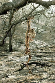 Rysligt öde: en panikslagen hjort fastnade med hornen i en trädgren under en skogsbrand. Short, brutish and nasty
