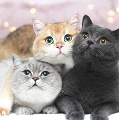 Cute Baby Kittens For Sale Near Me little Cute Animals Pictures Drawings whether Cute Animals To Draw And Print Cute Cats And Kittens, Baby Cats, I Love Cats, Cool Cats, Kittens Cutest, Pretty Cats, Beautiful Cats, Cute Baby Animals, Funny Animals