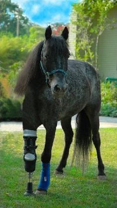 Have you ever heard of a horse with an artificial leg?  Very rare, indeed!  But Molly is no ordinary horse.   Great little story!