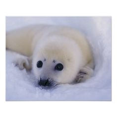Newborn Harp Seal.  Adorable!