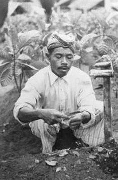 Een Soendanees bezig met het planten van de cinchona-plant, waar de kinine vandaan komt, op West-Java. Datum onbekend