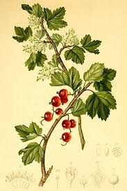 Alperibs- ribes alpinum - Edible berries