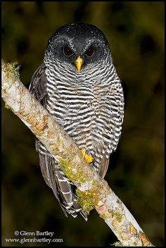 Black-banded Owl (Ciccaba huhula) | Flickr - Photo Sharing!